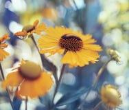 jardin extérieur de fleur de fond bleu en gros plan jaune de bokeh photo stock
