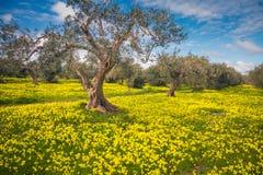 Jardin fantastique d'olives photographie stock