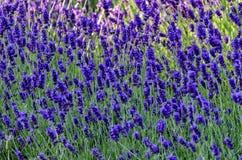 Jardin fleurissant avec la lavande au printemps Photos stock