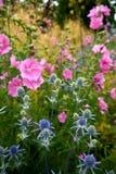 Jardin : houx de mer bleu et fleurs roses de rose trémière Photo stock