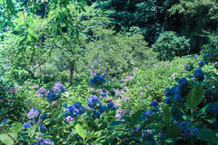 Jardin japonais de macrophylla d'hortensia Image stock