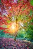 Jardin japonais de Seattle, arbre d'érable Photographie stock libre de droits