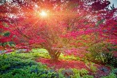 Jardin japonais de Seattle, arbre d'érable Photographie stock