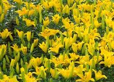 Jardin jaune de lis images stock