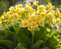 Jardin jaune de primevère ou de primevère au printemps image libre de droits