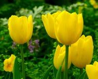 Jardin jaune de tulipe au printemps Photographie stock