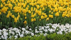 Jardin jaune de tulipe dans Emirgan images stock