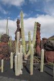 Jardin Lanzarote de cactus Image stock