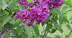 Jardin lilas à Moscou banque de vidéos