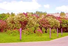 Jardin lilas à Moscou Image stock