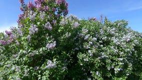 Jardin lilas ? Moscou clips vidéos