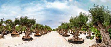 Jardin méditerranéen, plan rapproché la branche Images stock
