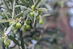 Jardin méditerranéen, plan rapproché la branche Olive Grove Images stock