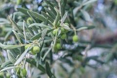Jardin méditerranéen, plan rapproché la branche Olive Grove Images libres de droits