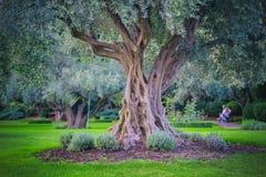 Jardin méditerranéen, plan rapproché la branche Olive Grove Image libre de droits
