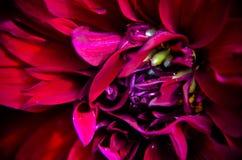 Jardin marron d'été de fromm de plan rapproché de dahlia Image libre de droits