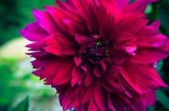 Jardin marron d'été de fromm de plan rapproché de dahlia Photographie stock libre de droits