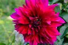 Jardin marron d'été de fromm de plan rapproché de dahlia Image stock