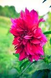 Jardin marron d'été de fromm de plan rapproché de dahlia Photo libre de droits