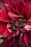 Jardin marron d'été de fromm de plan rapproché de dahlia Photographie stock