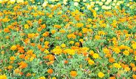 Jardin mexicain de merigold Image stock