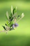 Jardin olive - olives sur un soutien-gorge Images stock