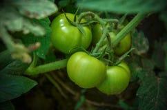 Jardin personnel de tomates vertes Photo libre de droits