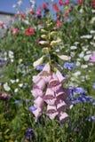 Jardin rose de l'anglais de digitale Photos stock