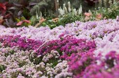 Jardin rose de marguerite Photo stock