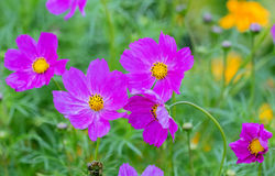 Jardin rose des marguerites images libres de droits