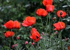Jardin rouge de pavots Images libres de droits