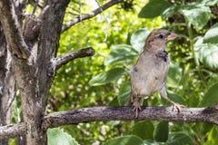 Jardin sauvage de Brésilien de moineau de birdie photos stock