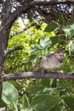 Jardin sauvage de Brésilien de moineau de birdie photographie stock libre de droits
