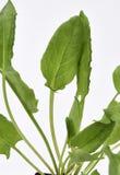 Jardin Sorrel Leaves Photographie stock