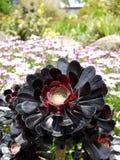 Jardin subtropical : Arboreum d'Aeonium dans le jardin de rocaille Photographie stock libre de droits