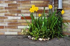 Jardin très petit de ressort de jonquille Image libre de droits