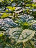 Jardin vert de menthe poivrée images libres de droits