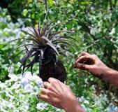 Jardinage d'orchidée de Bromeliad Image libre de droits