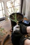 Jardinage de passe-temps Les mains masculines tiennent soigneusement la matière végétale Outils de jardinage neufs, plateau de ca Image stock