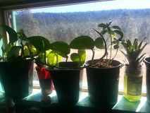 Jardinage de rebord de fenêtre Photos stock