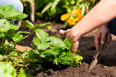Jardinage en été - femme plantant des fraises Photos stock