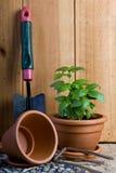 Jardinage - herbe de basilic dans le bac Images libres de droits