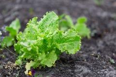 Jardinage organique, jeunes feuilles de salade de laitue Photos libres de droits