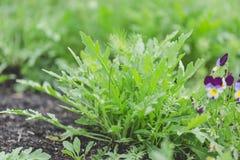 Jardinage organique, jeunes feuilles des usines d'arugula Images stock