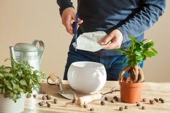 Jardinage, plantant à la maison homme replaçant la plante d'intérieur de ficus Images stock