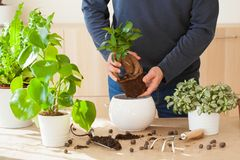 Jardinage, plantant à la maison homme replaçant la plante d'intérieur de ficus Photo libre de droits