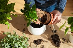 Jardinage, plantant à la maison homme replaçant la plante d'intérieur de ficus Image libre de droits