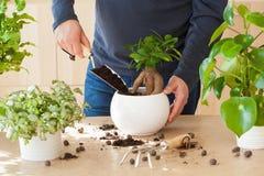 Jardinage, plantant à la maison homme replaçant la plante d'intérieur de ficus Images libres de droits