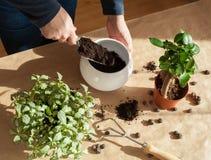 Jardinage, plantant à la maison homme replaçant la plante d'intérieur de ficus Photos stock