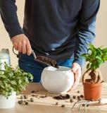 Jardinage, plantant à la maison homme replaçant la plante d'intérieur de ficus Photographie stock libre de droits